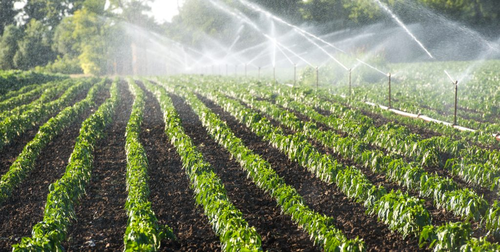 Irrigation system on a vegetable farm - water sprinklers spraying water on plants